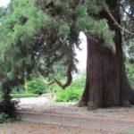 Mammoetboom Ledeboerpark