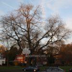 Honingboom Maastricht