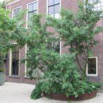 Oudste goudenregen Leiden
