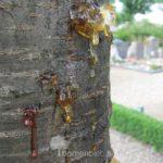 gomziekte van prunus