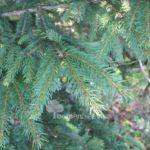 Picea (Spar)