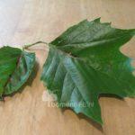 Esdoornbladige plataan