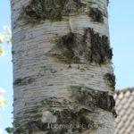 Betula (Berk)