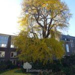 Oudste Ginkgo van Nederland
